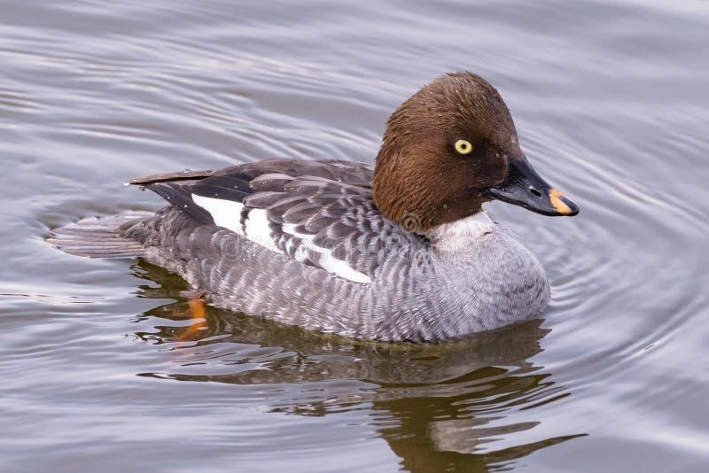 Amerikaanse Watervogels Gemeenschappelijke goldeneye royalty-vrije stock afbeelding