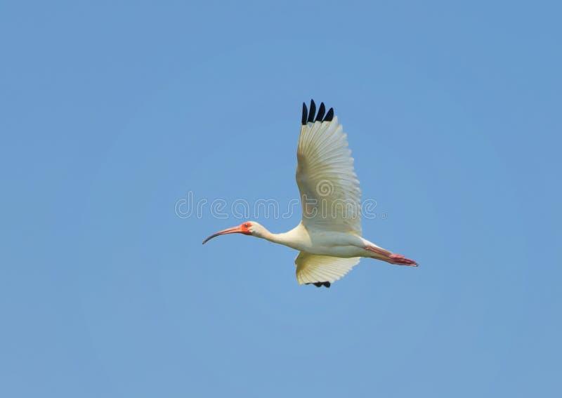 Amerikaanse Witte Ibis tijdens de vlucht royalty-vrije stock afbeelding