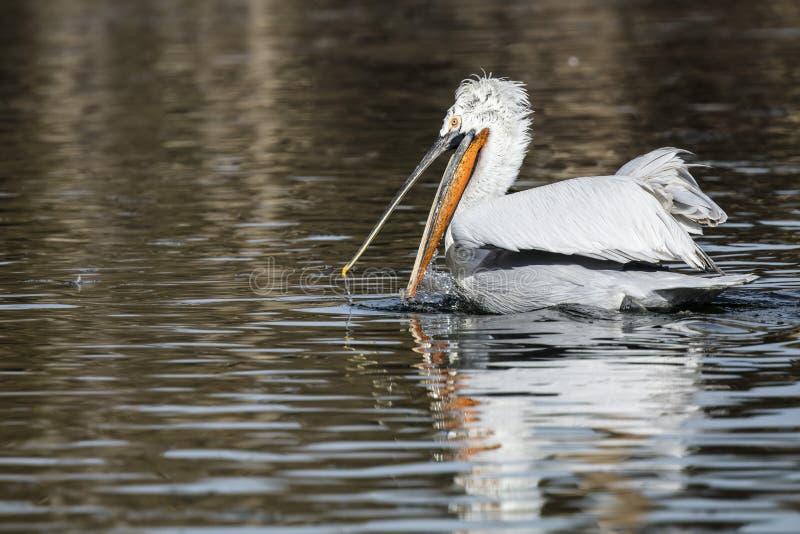 Amerikaanse Witte Pelikanen royalty-vrije stock foto's