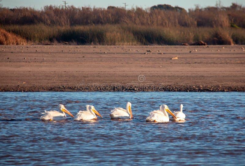 Amerikaanse Witte Pelikanen in de Santa Clara-rivier bij McGrath-het Park van de Staat op de Vreedzame kust in Ventura California royalty-vrije stock foto