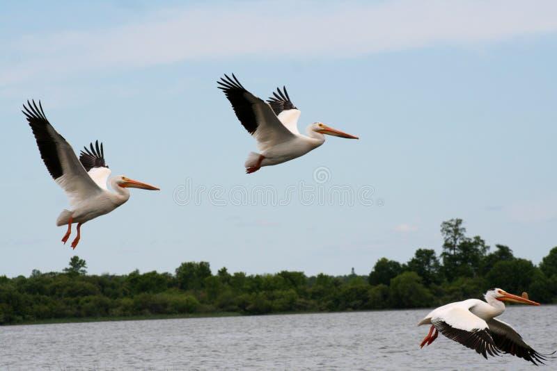 Amerikaanse Witte Pelikanen tijdens de vlucht royalty-vrije stock foto's