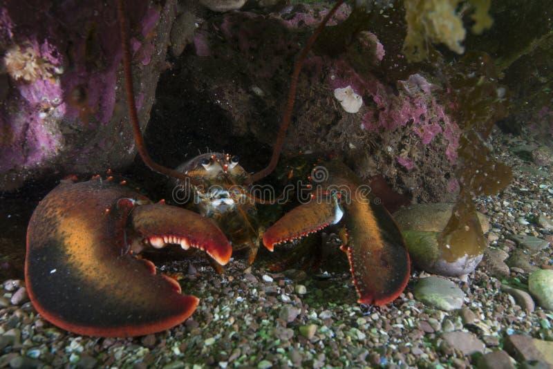 Amerikaanse Zeekreeft in Bonaventure Island in de Golf van st-Lawrence royalty-vrije stock afbeelding