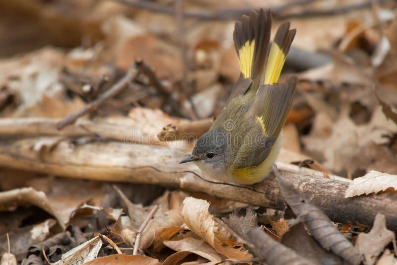 Amerikan Redstart - Setophagaruticilla arkivbild