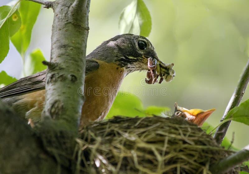 Amerikan Robin Food Delivery arkivbild