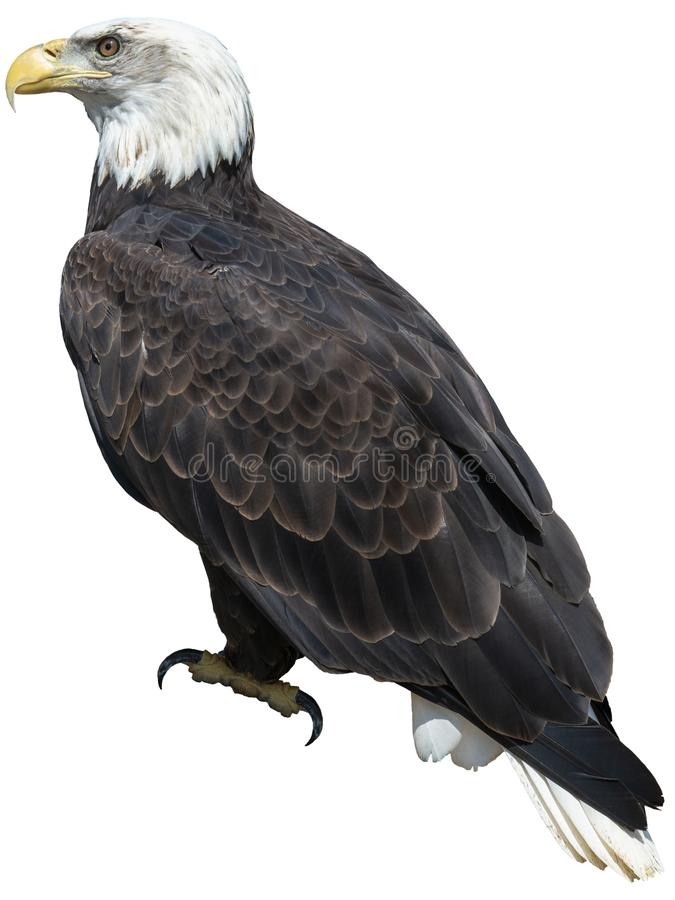 Amerikan skalliga Eagle Birs som isoleras, djurliv fotografering för bildbyråer