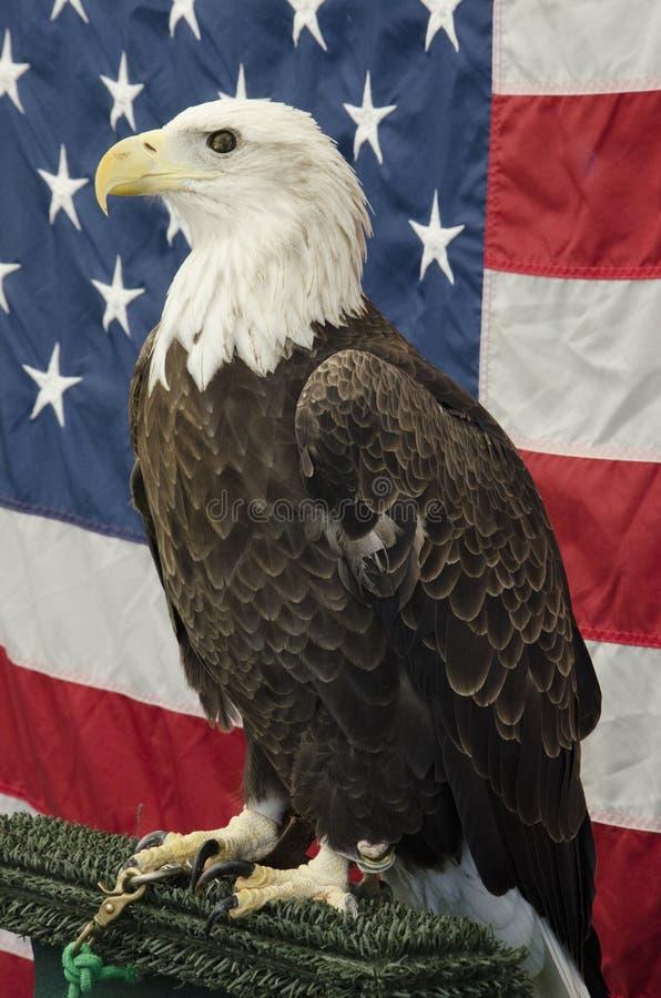 Amerikan skalliga Eagle In Front av amerikanska flaggan royaltyfria foton