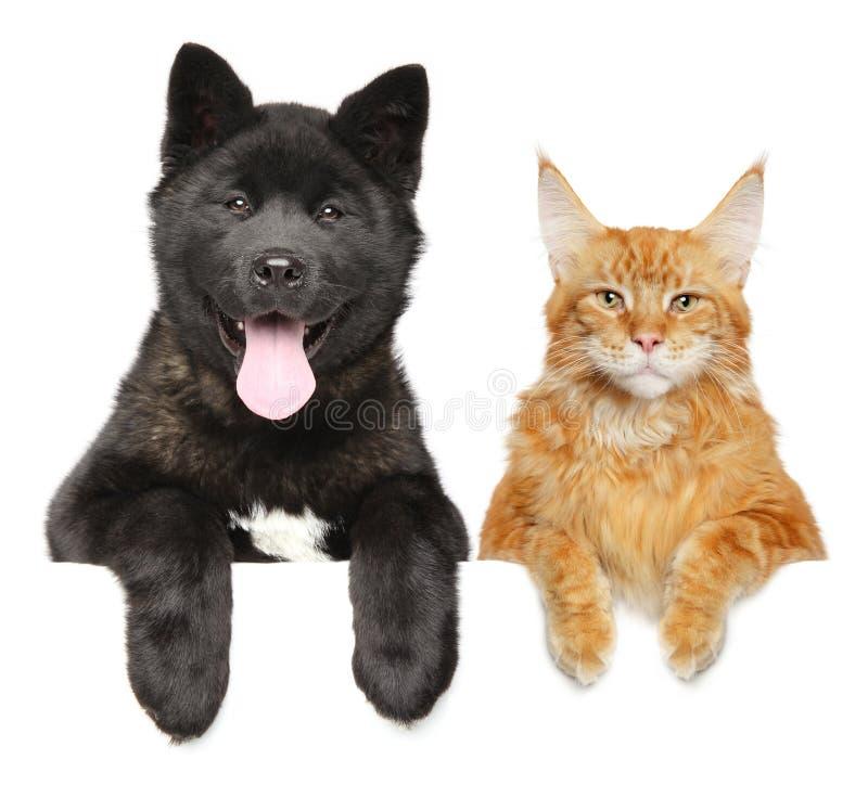 AmerikanAkita valp och Maine Coon katt tillsammans royaltyfri foto