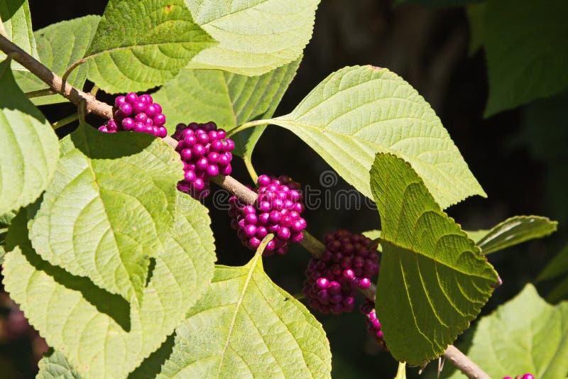 Amerikaner Beautyberry, französischer Maulbeerbaum, Abschluss OBEN lizenzfreie stockfotografie