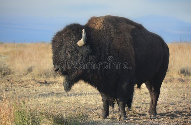 Amerikaner Bison Buffalo im Profil auf dem Grasland lizenzfreie stockbilder