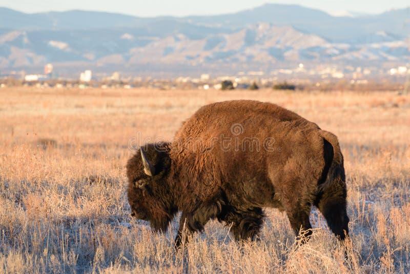 Amerikaner Bison Bull - genetisch reines Exemplar stockfotografie