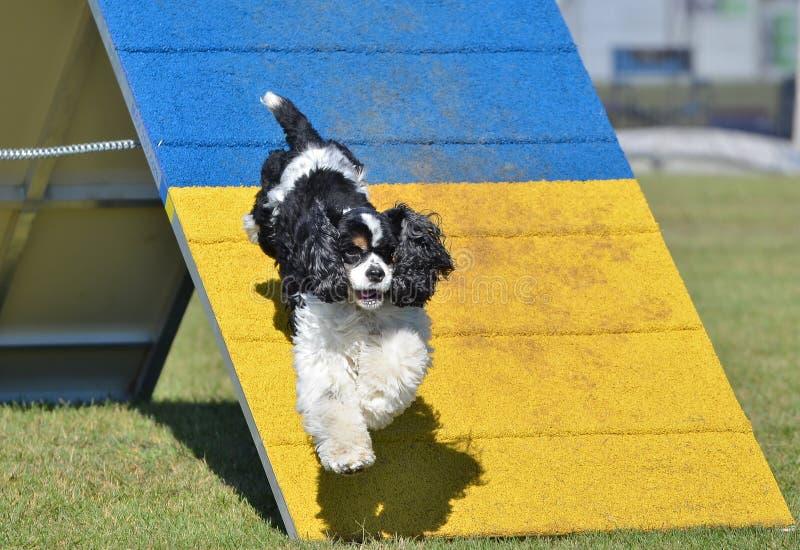 Amerikaner Cocker spaniel am Hundebeweglichkeits-Versuch lizenzfreie stockfotografie