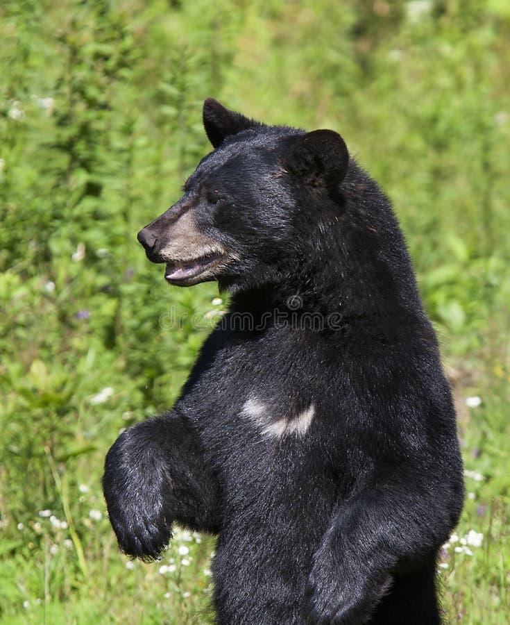 Amerikaner för en Ursus för svart björn som står i ängen i sommar i Kanada arkivbild