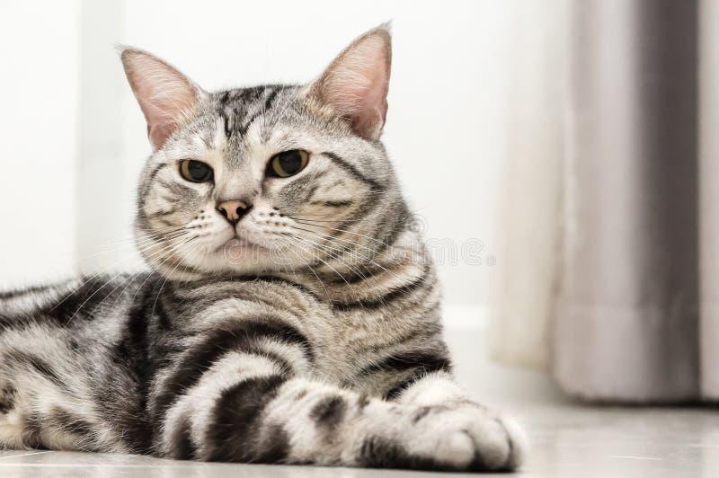 Amerikanisch Kurzhaar-Katze ist vorwärts sitzend und schauend lizenzfreie stockbilder