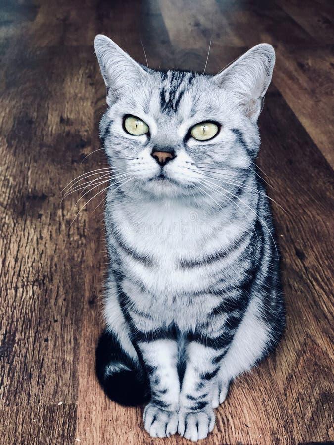 Amerikanisch Kurzhaar-Katze mit grünen Augen Silberne Miezekatze der getigerten Katze auf dem Weinleseholzfußboden sitzen, denken stockfoto