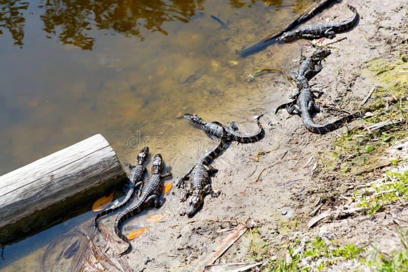 Amerikanische Babyalligatoren in Florida-Sumpfgebiet Everglades-Nationalpark in USA Kleine Alligatoren stockbild