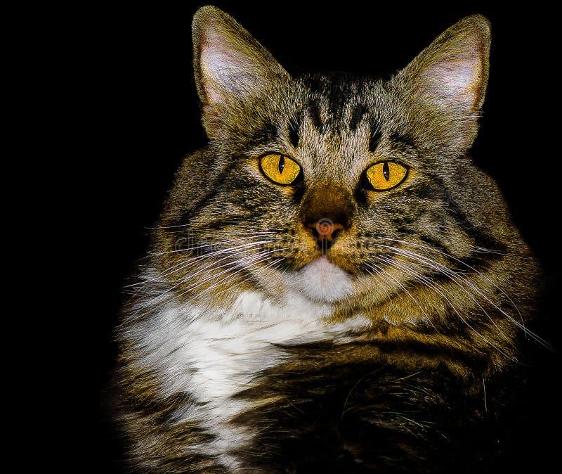 Amerikanische Bobtail Mischungs-Zucht Cat With Stunning ...