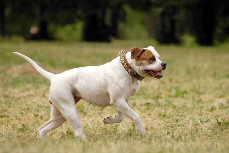 Amerikanische Bulldogge lizenzfreie stockfotos