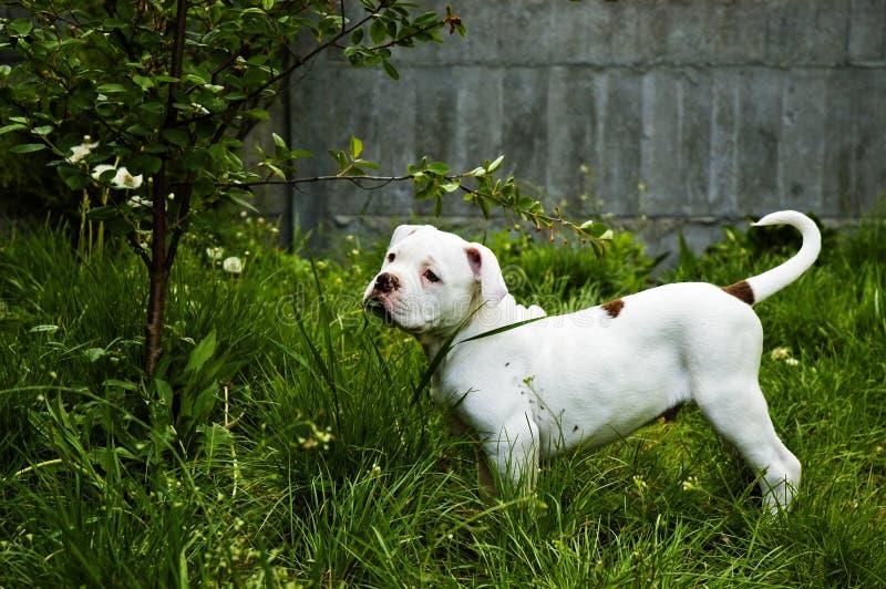 Amerikanische Bulldogge stockbild