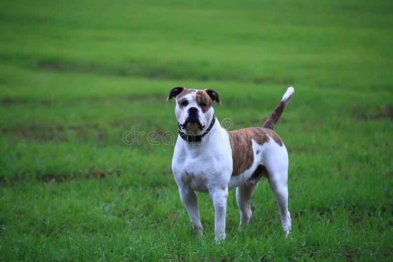 Amerikanische Bulldogge draußen lizenzfreies stockfoto