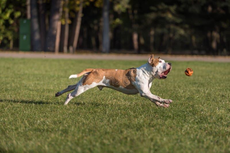 Amerikanische Bulldogge läuft auf dem Gras Versuchen Sie, einen Ball zu fangen stockfotos