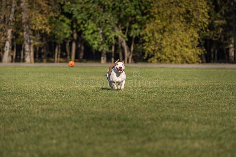 Amerikanische Bulldogge läuft auf dem Gras Versuchen Sie, einen Ball zu fangen stockfoto