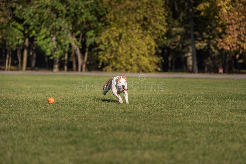 Amerikanische Bulldogge läuft auf dem Gras Versuchen Sie, einen Ball zu fangen lizenzfreie stockbilder