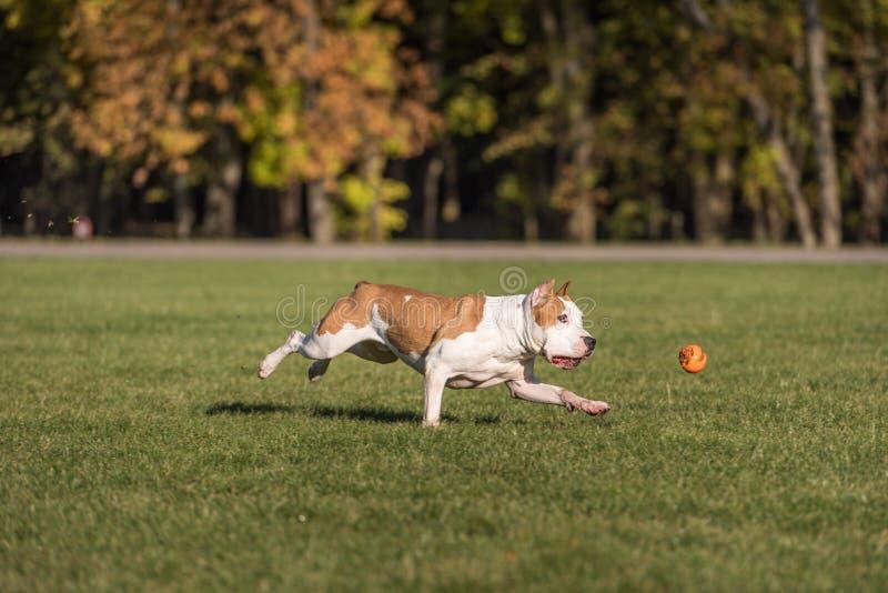 Amerikanische Bulldogge läuft auf dem Gras Versuchen Sie, einen Ball zu fangen lizenzfreie stockfotografie