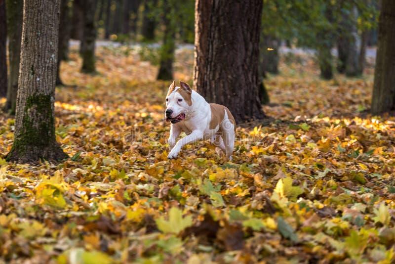 Amerikanische Bulldogge läuft auf Herbst Boden Versuchen Sie, einen Bal zu fangen lizenzfreies stockbild