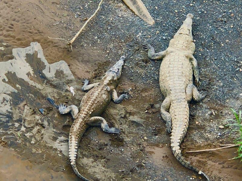Amerikanische Krokodile in Costa Rica lizenzfreie stockfotografie