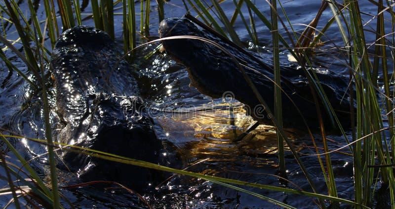 Amerikanische Krokodile, die für Gebiet kämpfen lizenzfreies stockbild