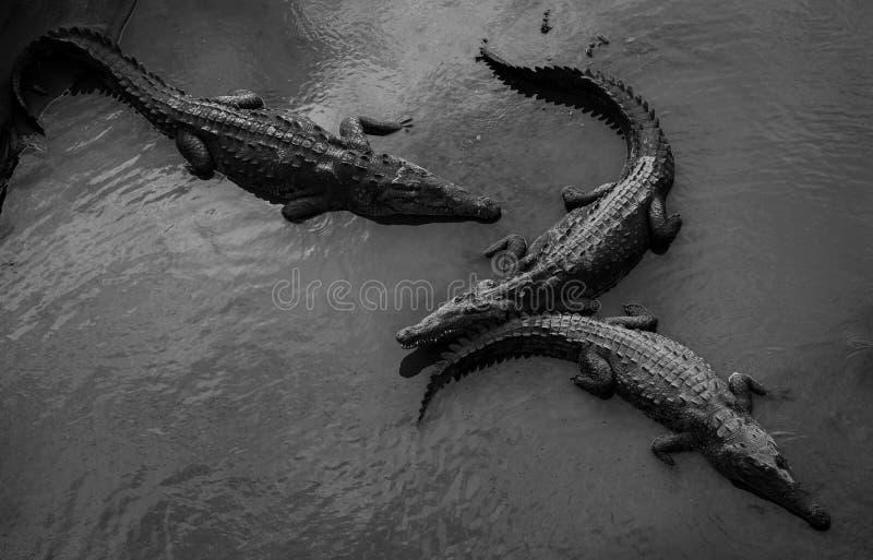 Amerikanische Krokodile im Tarcoles-Fluss stockfotografie