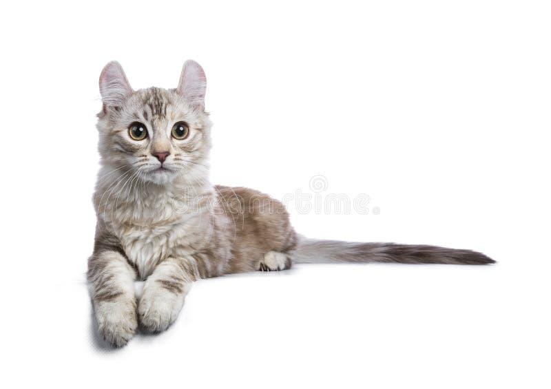 Amerikanische Lockenkatze Schokolade silberner tortie getigerter Katze lizenzfreie stockfotos