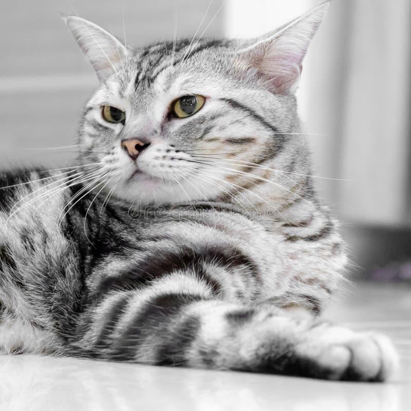 Amerikanische Shorthair Katze lizenzfreie stockfotografie