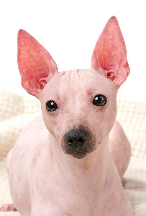Amerikanische unbehaarte Terrier-Hundeporträtnahaufnahme auf woolen Plaid gegen weißen Hintergrund lizenzfreie stockfotos