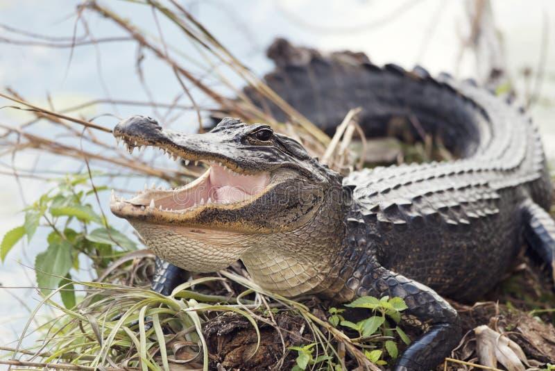 Amerikanischer aalender Alligator stockfotos