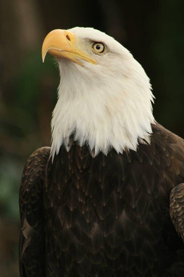 Amerikanischer Adler 3 stockfotos