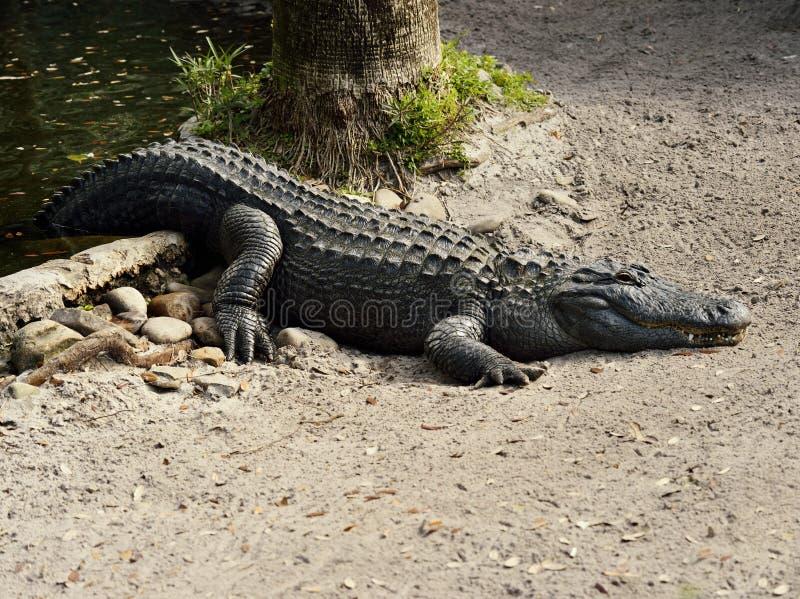 Amerikanischer Alligator stockbilder