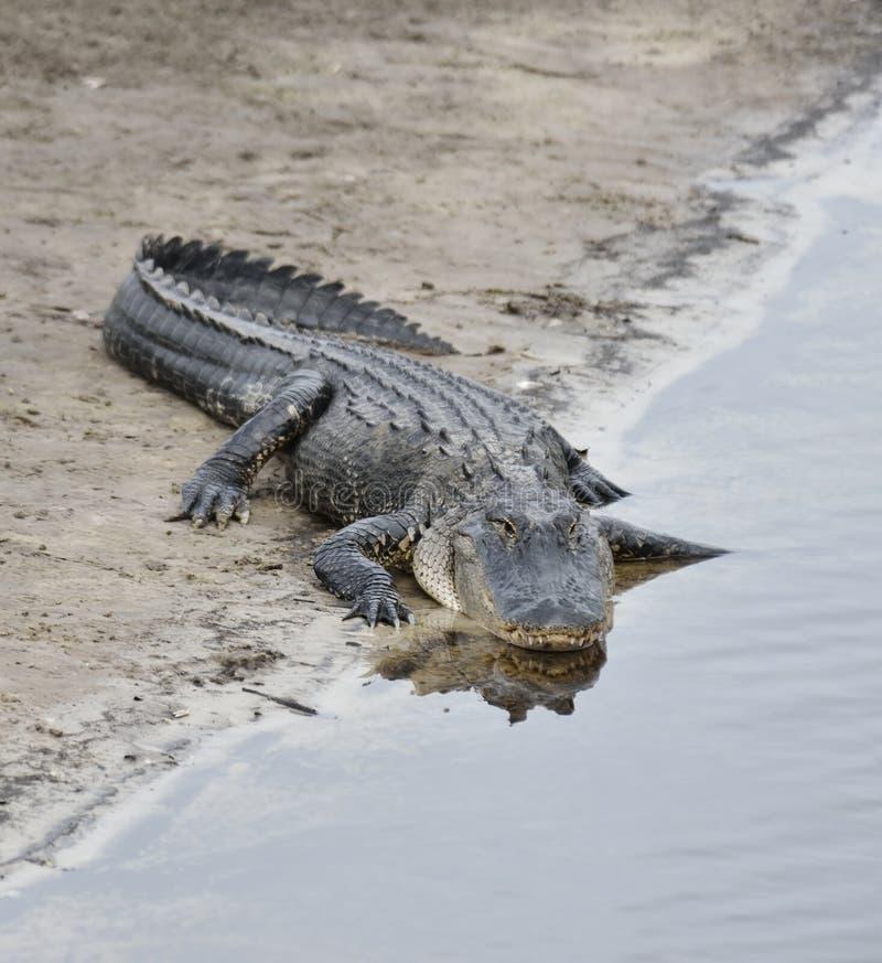 Amerikanischer Alligator lizenzfreie stockfotografie