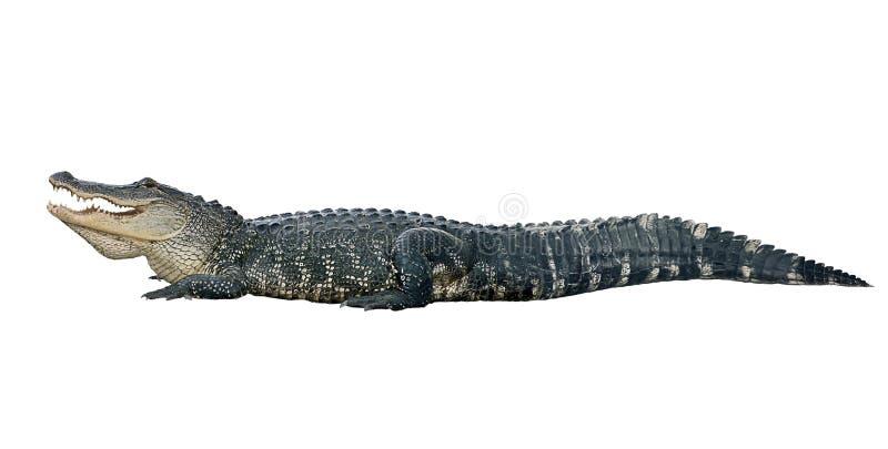 Amerikanischer Alligator auf wei?em Hintergrund stockfotos