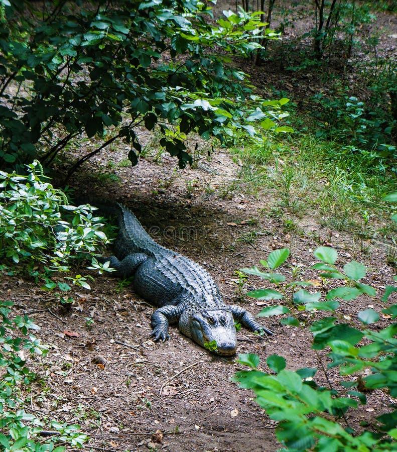 Amerikanischer Alligator, der auf der Flussbank stillsteht stockbild