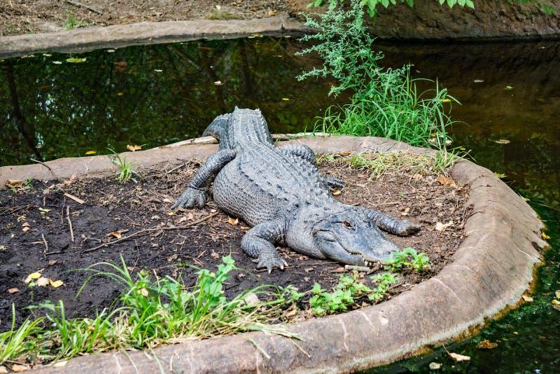 Amerikanischer Alligator, der in einem Teich stillsteht lizenzfreie stockfotografie