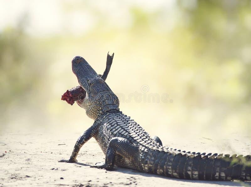 Amerikanischer Alligator, der Fische auf einer Spur isst stockfoto