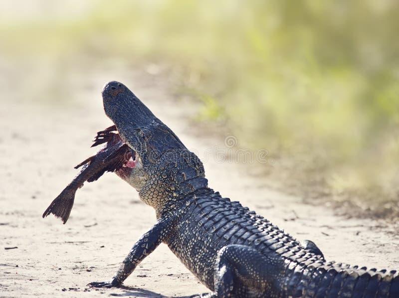 Amerikanischer Alligator, der Fische auf einer Spur isst lizenzfreies stockfoto