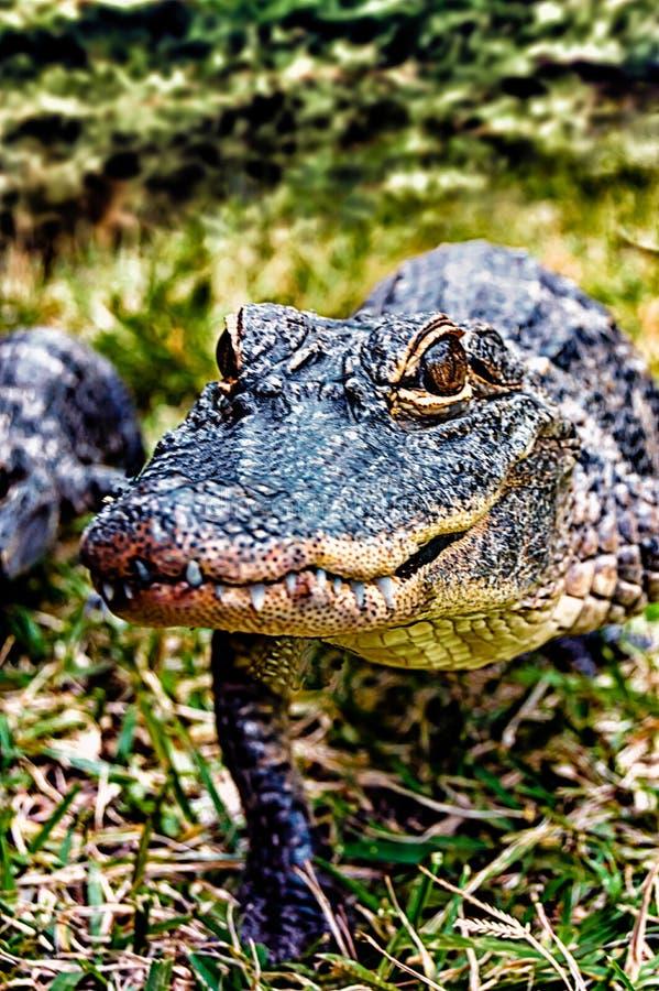 Amerikanischer Alligator, der in Gras geht lizenzfreie stockbilder