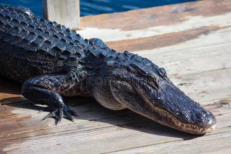 Amerikanischer Alligator A mississippiensis lizenzfreies stockbild