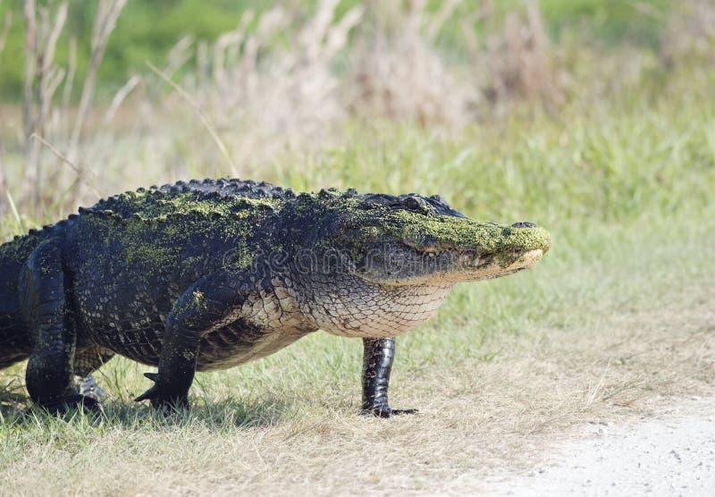 Amerikanischer Alligatorgehen stockbilder
