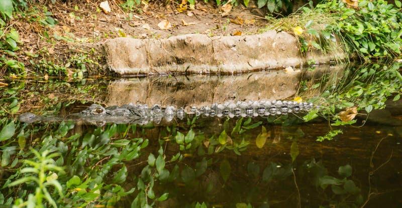 Amerikanischer Alligatormississipi-alligator, der in einem Fluss schwimmt stockfotografie