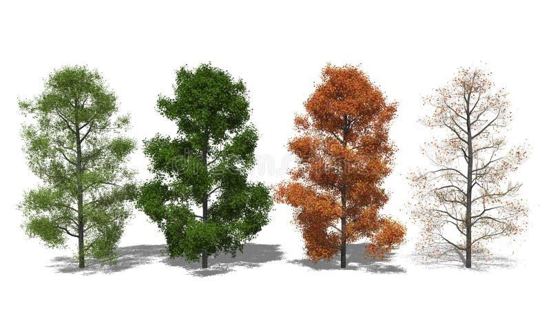amerikanischer amberbaum liquidambar styraciflua vier. Black Bedroom Furniture Sets. Home Design Ideas