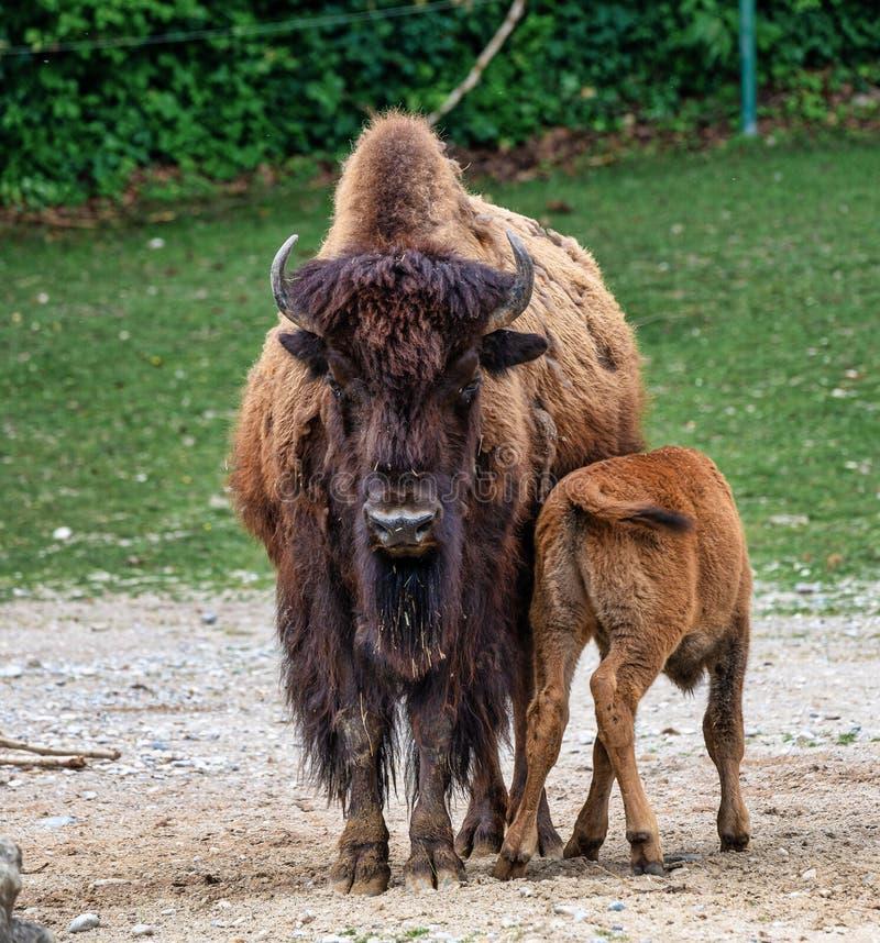 Amerikanischer B?ffel bekannt als Bison, Bosbison im Zoo lizenzfreies stockfoto