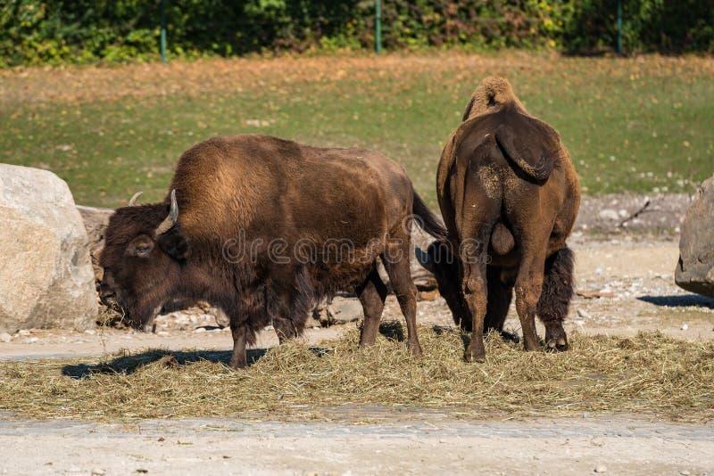 Amerikanischer B?ffel bekannt als Bison, Bosbison im Zoo lizenzfreie stockfotografie